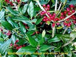 Needlepoint Ilex / Holly