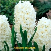 Carnegie Hyacinth Dutch Bulbs