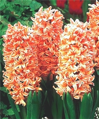 Gypsy Queen Hyacinth Dutch Bulbs