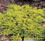 Golden Carpet Juniper