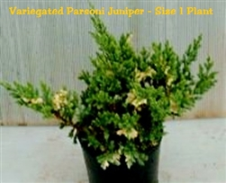 Variegated Parsoni Juniper