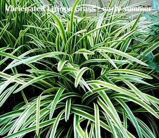 Variegated liriope grass for Variegated ornamental grass