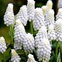 Muscari armeniacum Siberian Tiger Dutch Bulbs