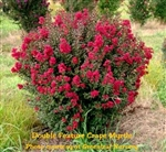 Double Feature Crape Myrtle
