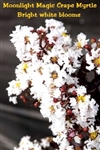 Moonlight Magic Crape Myrtle / Lagerstroemia