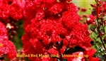 Ruffled Red Magic Crape Myrtle / Lagerstroemia