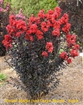 Sunset Magic Crape Myrtle / Lagerstroemia
