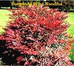 Burgundy Wine Nandina