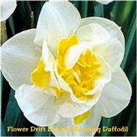 Narcissus Flower Drift Daffodil Dutch Bulbs