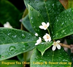 Osmanthus fragrans / Fragrant Tea Olive