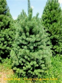 Scotch Pine / Pinus French Dark Green