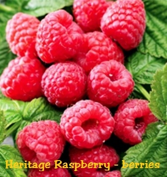 heritage raspberry planting instructions