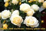 Popcorn Drift Rose