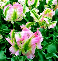 Tulipa Green Wave Dutch Tulip Bulbs