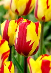 Tulipa Helmar Dutch Tulip Bulbs