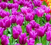 Passionale Dutch Tulip Bulbs