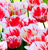 Tulipa Sorbet Dutch Tulip Bulbs